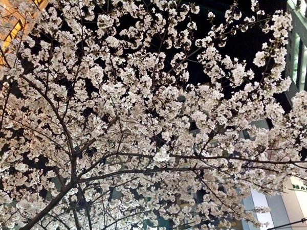マークシティの桜