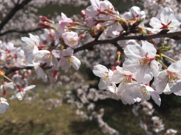 桜の花びらを観ると春を感じます。