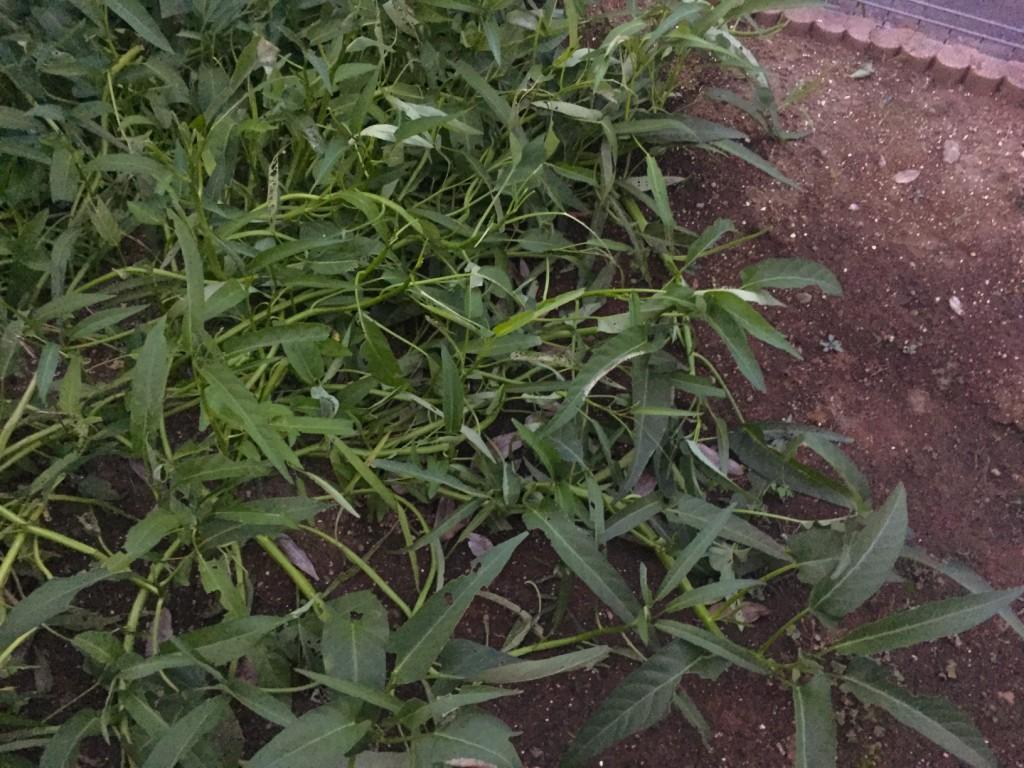 庭に種をまいたら、もはや雑草のように。つまり食べ放題