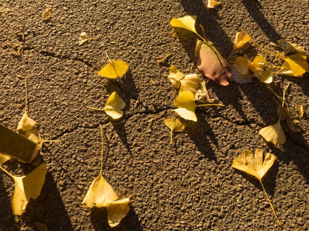 銀杏の落ち葉。そういえば銀杏って東京都の木だ