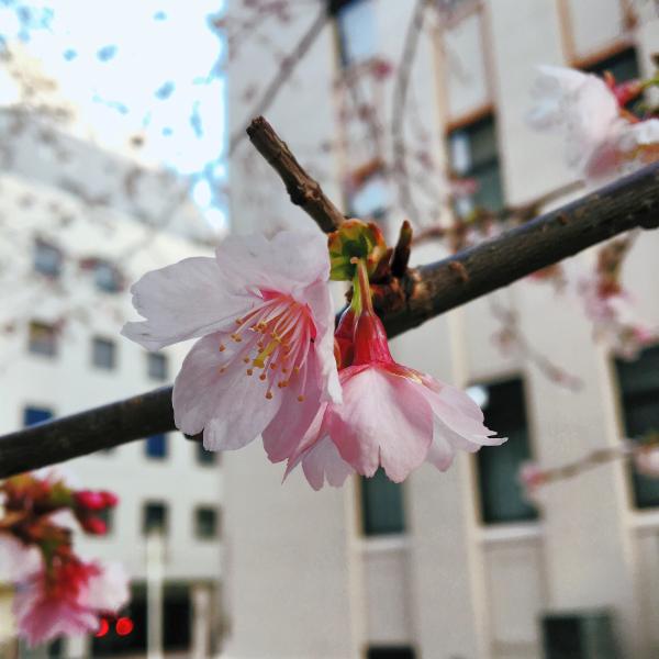 日本大通り横の桜の花が咲いていました。 春はすぐそこ。