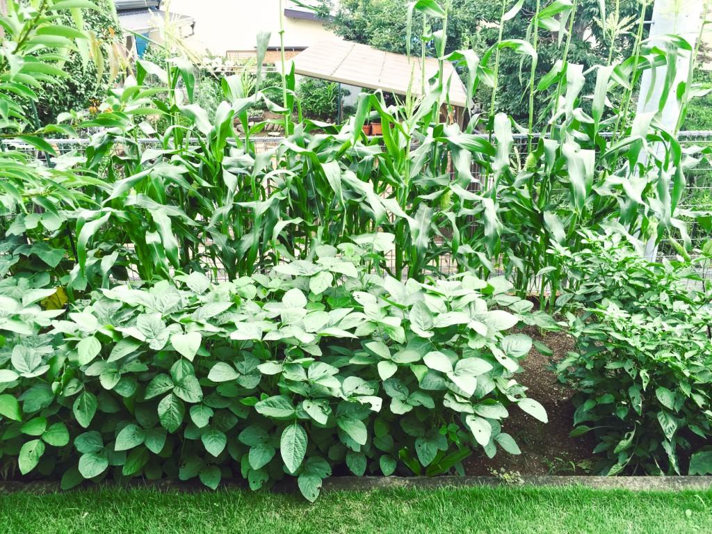 自宅の家庭菜園。このところの陽気でだいぶ育ってきた