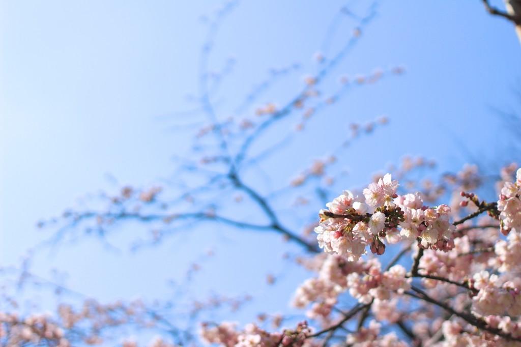 最近の暖かさにつられて咲いた桜。日本の心。