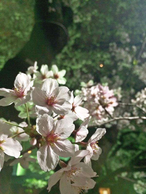 市ヶ谷の夜は、夜桜も楽しめます。