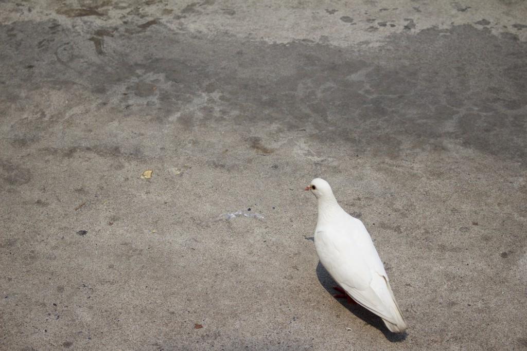 対岸について。ここまで白い鳩は珍しい