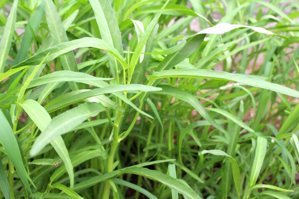 庭の畑で育てた空心菜。傍目には雑草に見える(笑)
