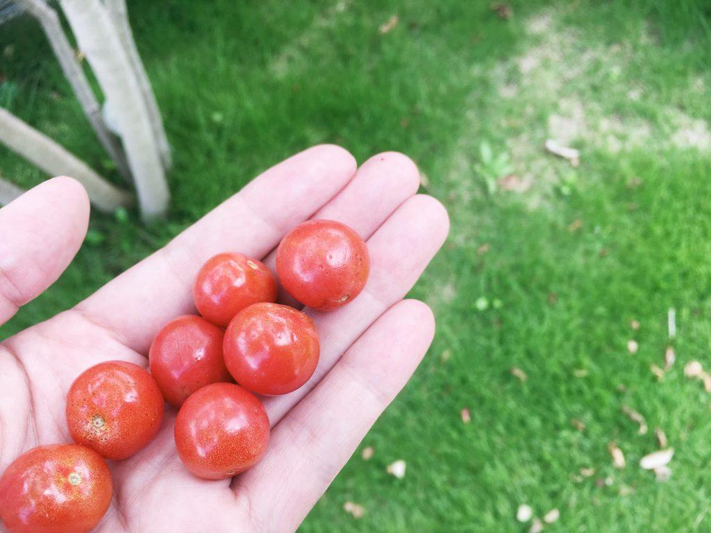 もう最後なのであまり状態はよくないけど、熟したミニトマトはサクランボのよう