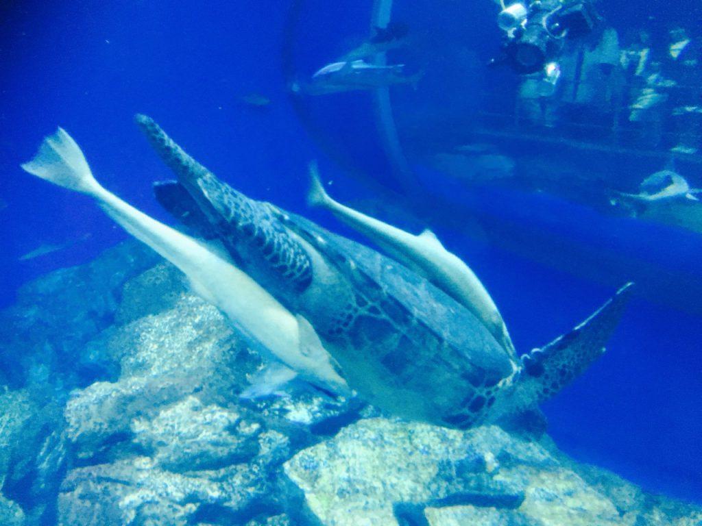 コバンザメ? をくっつけて泳ぐカメ